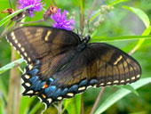 2Tiger-Swallowtail-Dark-form-Female