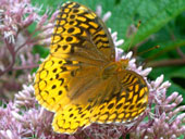 4Great-Spangled-Fritillary